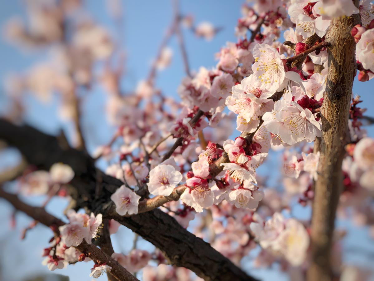 snapseedで編集した梅の写真